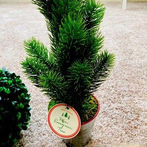 Evergreen christmas plant